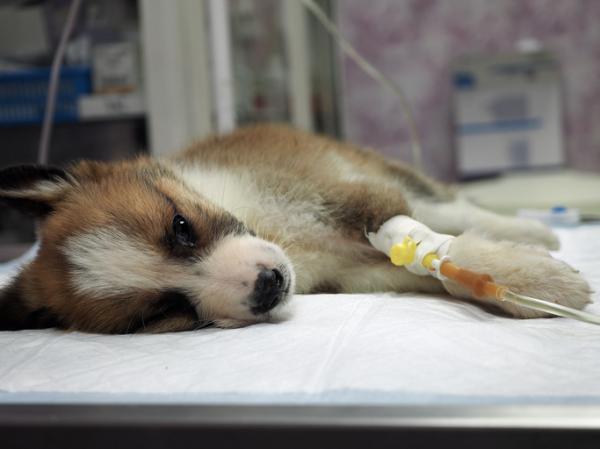 Cuánto tiempo dura el parvovirus en una casa - Qué es el parvovirus canino y cómo se contagia
