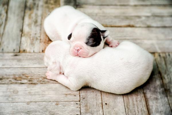 Cuándo abren los ojos los perros recién nacidos - Cuándo abren los ojos los cachorros por primera vez