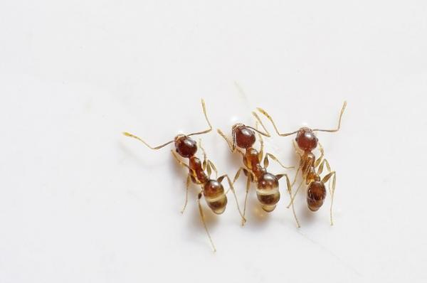 Cómo hacer un insecticida casero para eliminar las hormigas - Champú antipiojos, efectivo para eliminar las hormigas