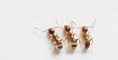 Cómo hacer veneno casero para hormigas