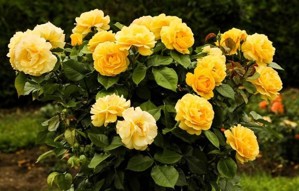 Cómo hacer y plantar esquejes de rosal - Qué son los esquejes de rosal
