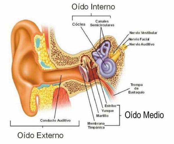 Cuáles son los huesos de los oídos