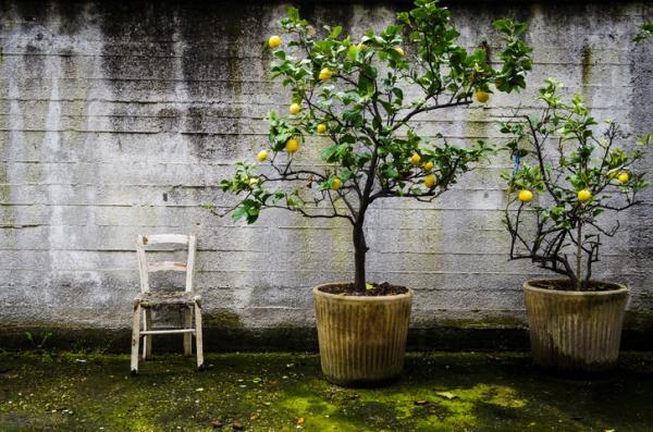 Cuidados del limonero en maceta - Tamaño de la maceta del limonero