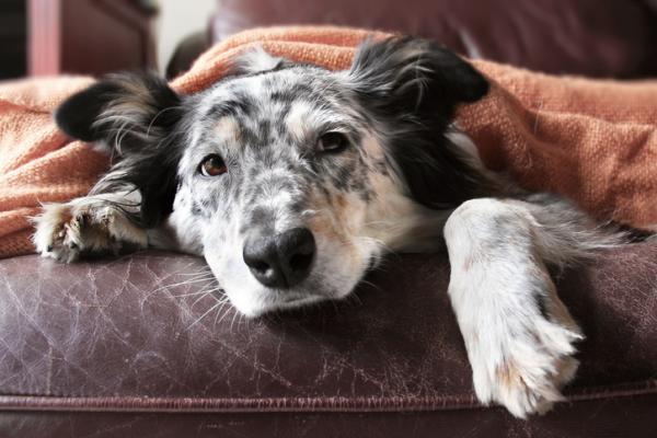 Faringitis en perros: síntomas y tratamiento - Causas de la faringitis en perros