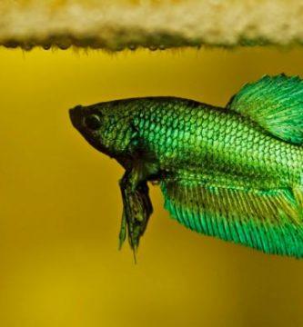 Por qué mi pez betta no come y no se mueve
