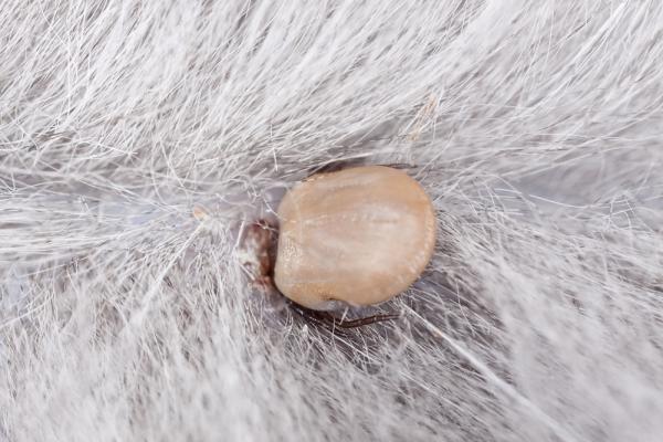 Rickettsia en perros: síntomas, contagio y tratamiento - Síntomas de la rickettsia en perros