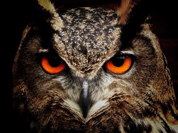 Significado del búho como animal de poder