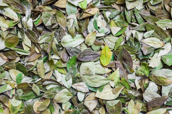 Té de coca: beneficios, cómo tomarlo y contraindicaciones - Té de hojas de coca: propiedades y beneficios