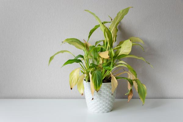 Hojas amarillas en las plantas: qué significan y soluciones - Riego inadecuado