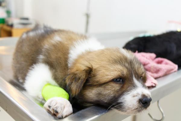 Cuánto dura el parvovirus en un perro - Cuánto tarda un perro en curarse del parvovirus