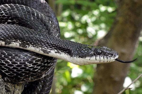 Qué significa soñar con serpientes negras - Qué significa soñar que una serpiente negra te persigue