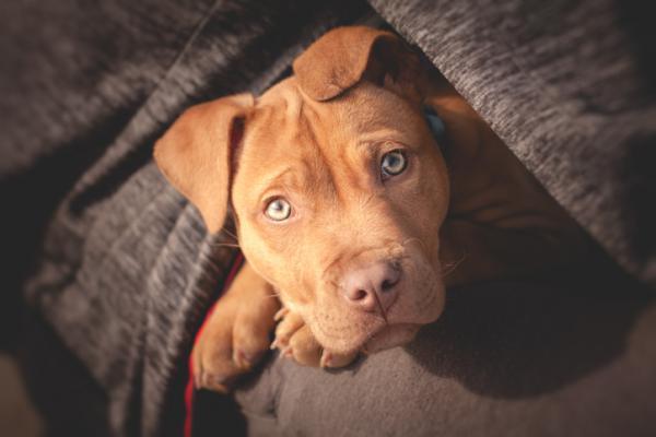 Diferencia entre pitbull y american stanford - Cómo es un pitbull