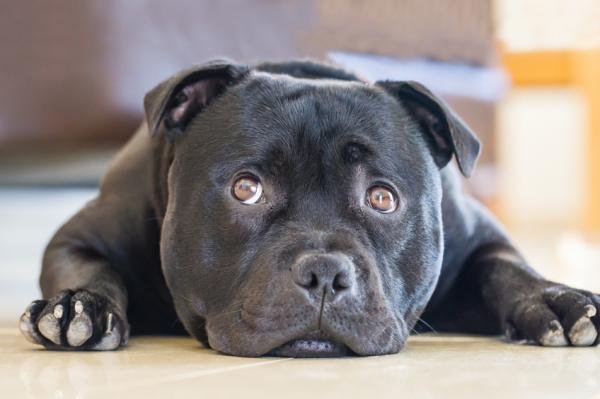 Diferencia entre pitbull y american stanford - Cómo es un american staffordshire terrier