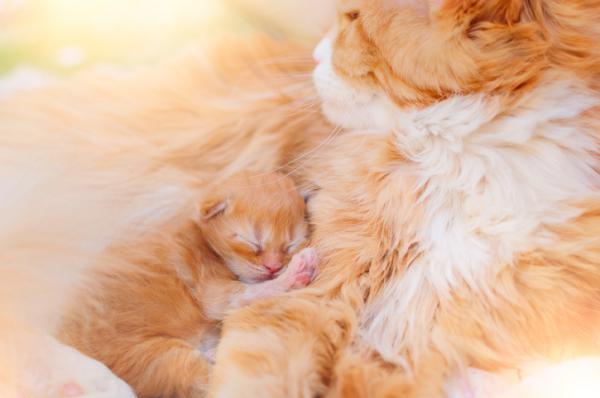 Cómo saber si mi gata va a parir - Cómo ayudar a una gata a parir