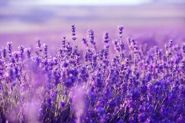 Nombres de plantas medicinales y para qué sirven - Lavanda