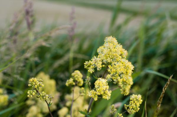 Nombres de plantas medicinales y para qué sirven - Ruda
