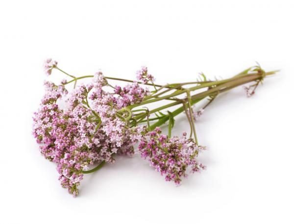 Nombres de plantas medicinales y para qué sirven - Valeriana