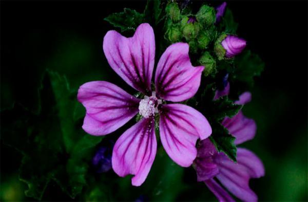 Nombres de plantas medicinales y para qué sirven - Flor de malva