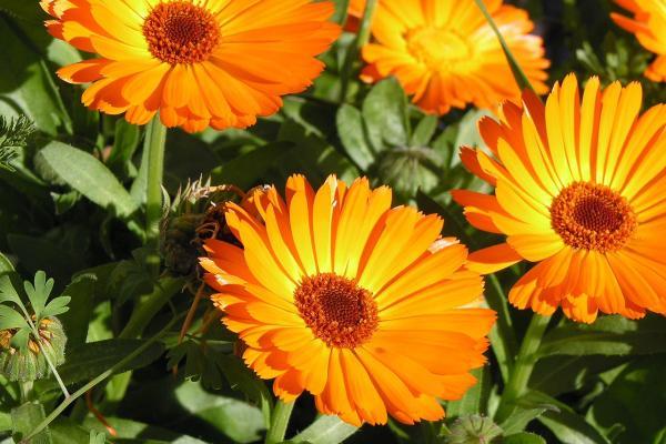 Nombres de plantas medicinales y para qué sirven - Caléndula