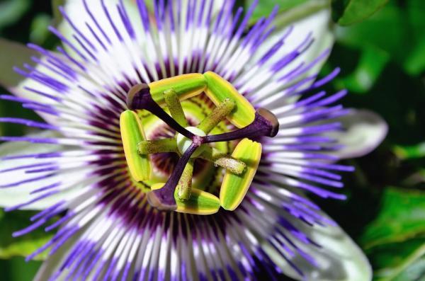 Nombres de plantas medicinales y para qué sirven - Pasiflora