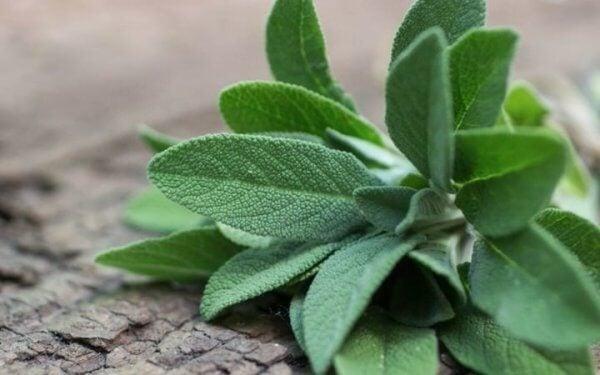 Nombres de plantas medicinales y para qué sirven - Salvia