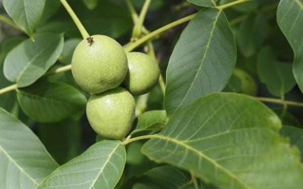 Nombres de plantas medicinales y para qué sirven - Nogal