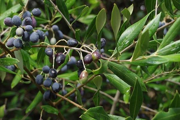 Nombres de plantas medicinales y para qué sirven - Acebuche