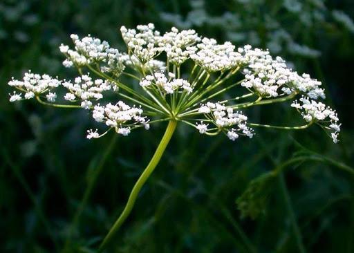 Nombres de plantas medicinales y para qué sirven - Anís