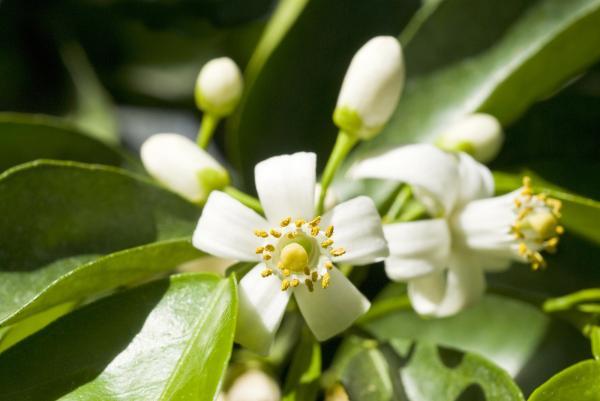 Nombres de plantas medicinales y para qué sirven - Flor de azahar