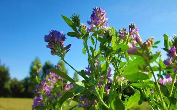 Nombres de plantas medicinales y para qué sirven - Alfalfa