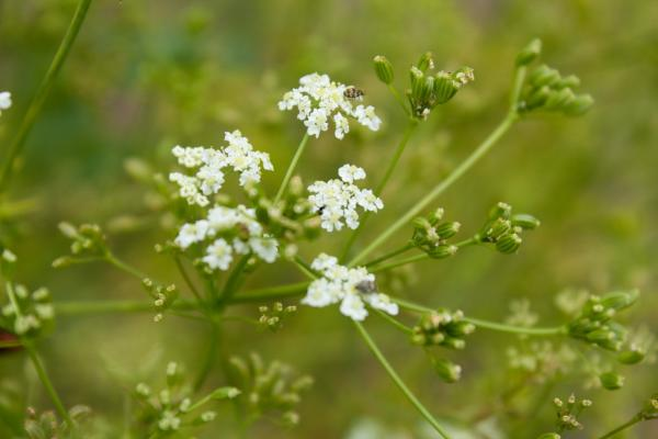 Nombres de plantas medicinales y para qué sirven - Comino
