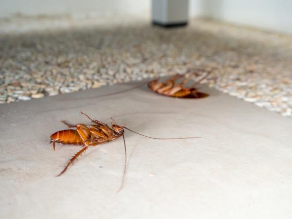 Cómo hacer veneno casero para cucarachas - 3 productos para eliminar cucarachas definitivamente