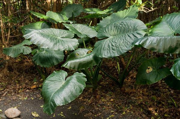 Cuidados para la planta Alocasia o Marquesa - guía práctica - Cuidados para la planta Alocasia u Oreja de elefante en exterior