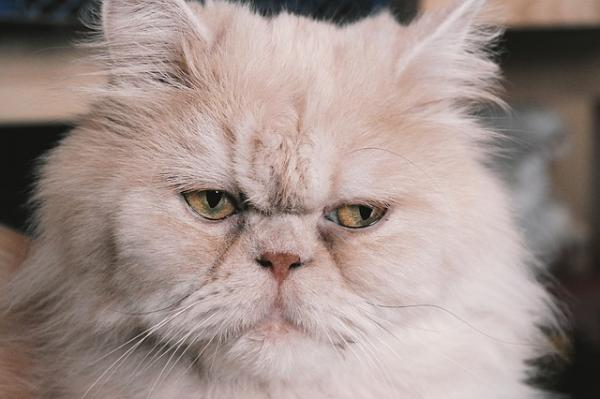 Cómo saber si un gato persa es puro - aquí la respuesta - Características físicas del gato persa