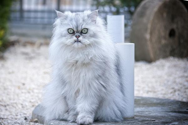 Cómo saber si un gato persa es puro - aquí la respuesta - Pedigree para saber si un gato persa es puro