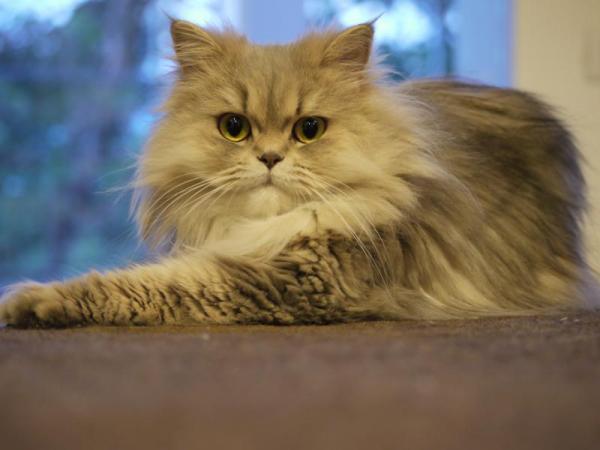 Cómo saber si un gato persa es puro - aquí la respuesta - Diferentes tipos de gatos persas según su color - con fotos