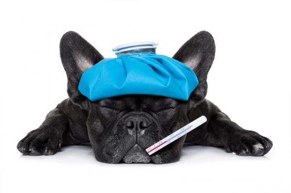 Síntomas y tratamiento de la enfermedad de la garrapata en perros - Fases y síntomas de la enfermedad de la garrapata en perros