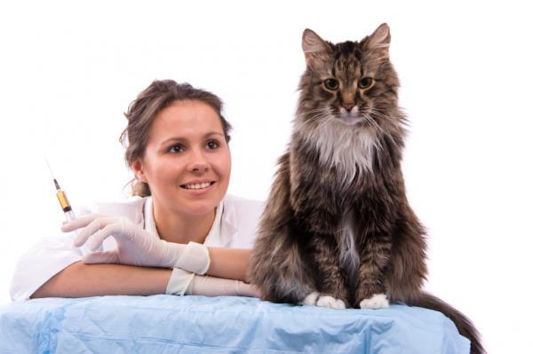 Por qué mi gato estornuda mucho - conoce las causas - Cómo prevenir que tu gato tenga infecciones virales y bacterianas