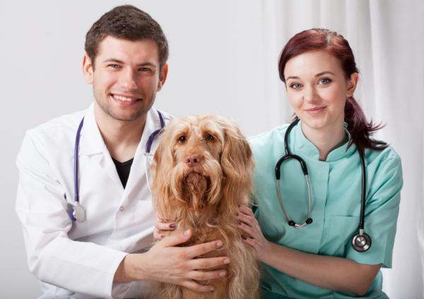 Causas y tratamiento de las glándulas anales inflamadas en perros - Tratamiento de las glándulas anales inflamadas en perros