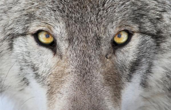 Qué significa el lobo como animal de poder - Significado del lobo como animal de poder