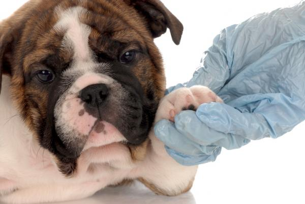 Cuándo empezar a desparasitar a un cachorro - Cuándo desparasitar a un cachorro por primera vez