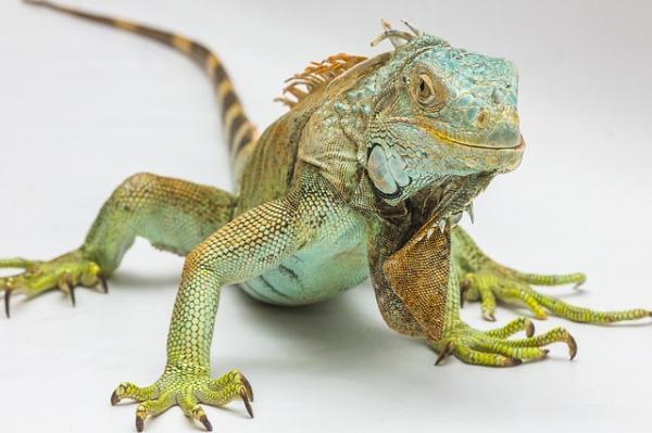 Por qué mi iguana tiene manchas negras - conoce las causas - Cuándo llevar a mi iguana al veterinario