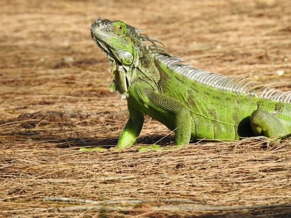 Por qué mi iguana tiene manchas negras - conoce las causas - Causas de las manchas negras en las iguanas