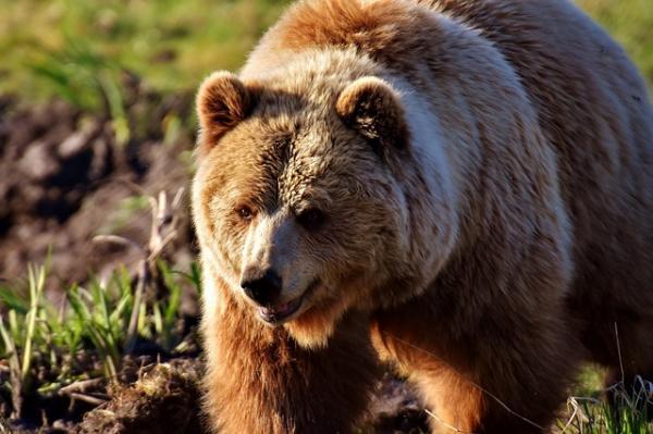 Cuál es el significado de los tatuajes de osos - Orígenes y primeros significados de los tatuajes de osos