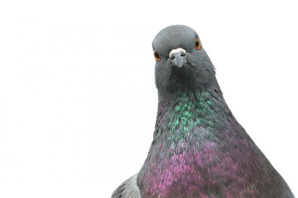 ¿Los pájaros pueden comer arroz? - descúbrelo aquí - Estudios científicos sobre las palomas y el arroz