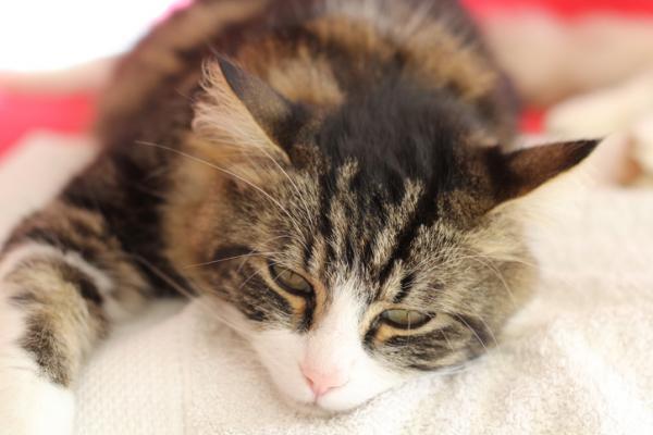 Aloe vera para gatos con leucemia - beneficios y tratamiento - Síntomas de la leucemia felina
