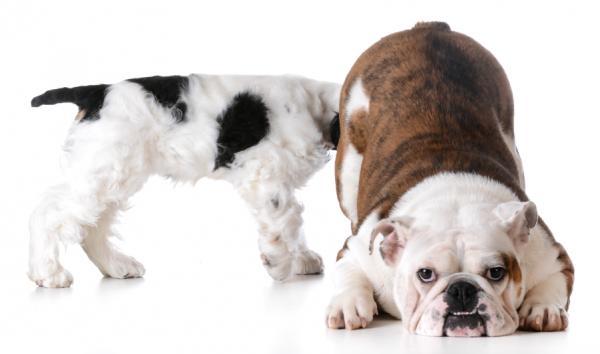 Por qué mi perra tiene la vulva inflamada - aquí la respuesta - Por qué mi perra tiene la vulva hinchada - causas principales