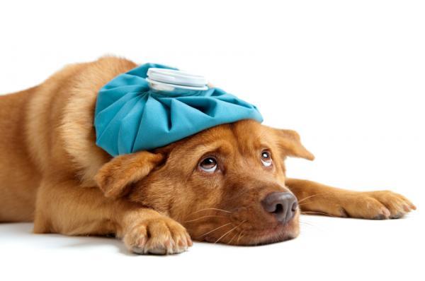 Causas y tratamiento de la cardiomegalia en perros - Tratamiento para cardiomegalia en perros