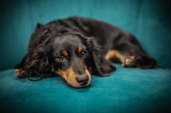 Causas y tratamiento de la cardiomegalia en perros - Por qué les crece el corazón a los perros