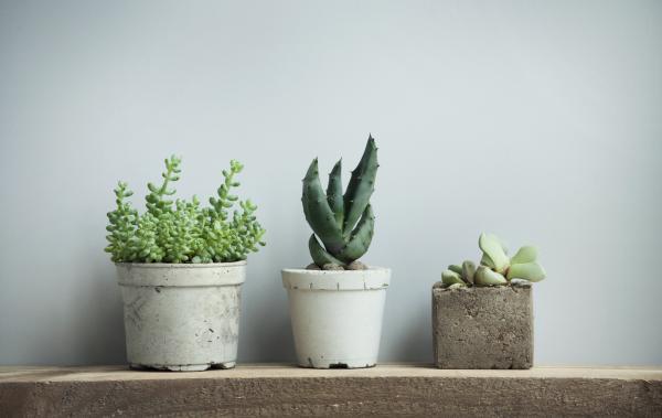 Cómo cuidar las plantas suculentas - guía de cuidados - Tipos de plantas suculentas y cuidados básicos